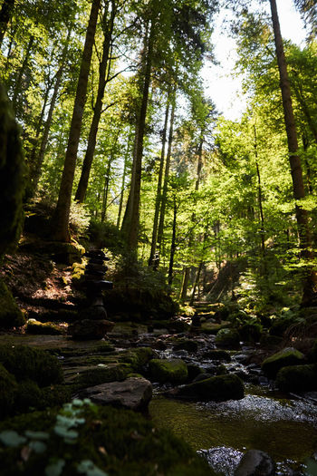 Small River in Black Forest Beauty In Nature Black Forest Day Flowing Flowing Water Forest Growth Land Nature No People Outdoors Plant Rock Scenics - Nature Solid Sunlight Tranquil Scene Tranquility Tree Tree Trunk Water WoodLand