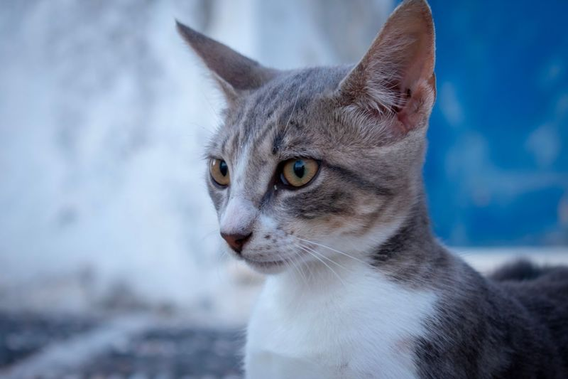 The cat is a natural model Summer Santorini EyEmNewHere EyeEm Selects Animal Animal Themes One Animal Mammal Domestic Animals Pets Domestic Vertebrate Close-up Focus On Foreground Animal Body Part Feline No People Domestic Cat Portrait Cat Looking Looking Away Whisker Animal Head