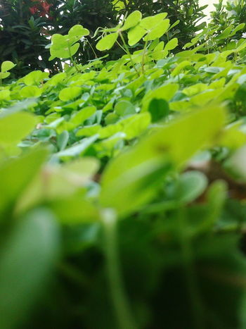 the pure nature Nature The Nature Of Beauty Green Color Growth Close-up Agriculture Leaf Tree No People Outdoors Day