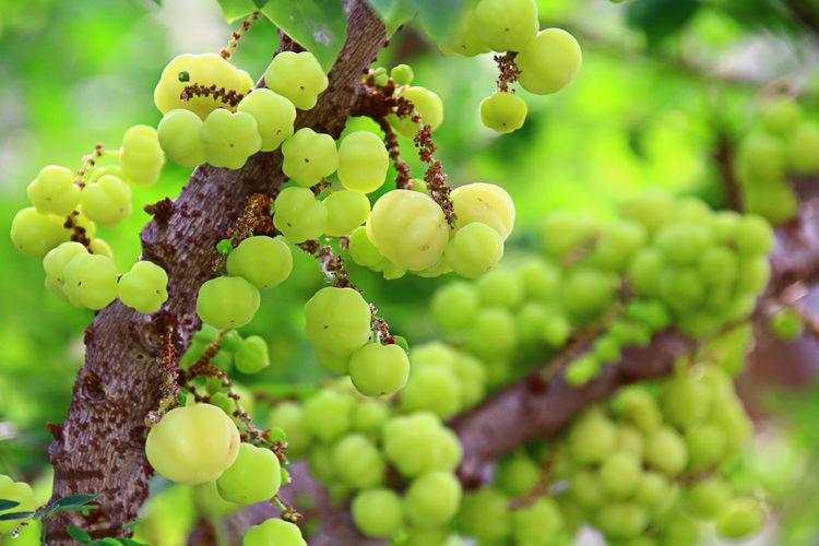 Gooseberry acid taste nature Gooseberry Fruit