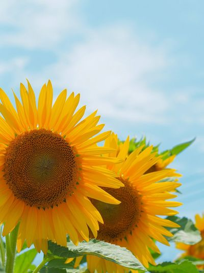 Sunflower Flower Fragility Petal Sky Yellow Freshness Flower Head Plant Close-up Cloud - Sky No People Summer 夏はひまわり畑🌻🌻