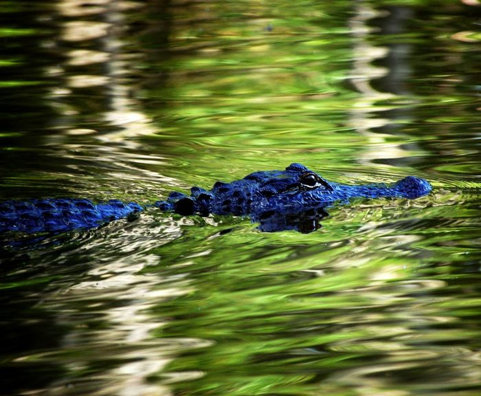 Reptile Alligator One Animal Water River Swamp New Orleans EyeEmNewHere EyeEmNewHere The Great Outdoors - 2017 EyeEm Awards The Great Outdoors - 2017 EyeEm Awards