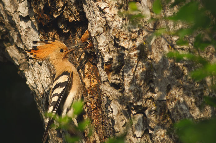 Wildlife photography of a hoopoe from a forest near Bistrita, Romania. Green Tree Animal Animal Themes Animal Wildlife Animals In The Wild Background Beauty Bird Branch Close-up Forest Hoopoe Nature One One Animal Outdoors Single Summer Tree Trunk Wild Wildlife Woods