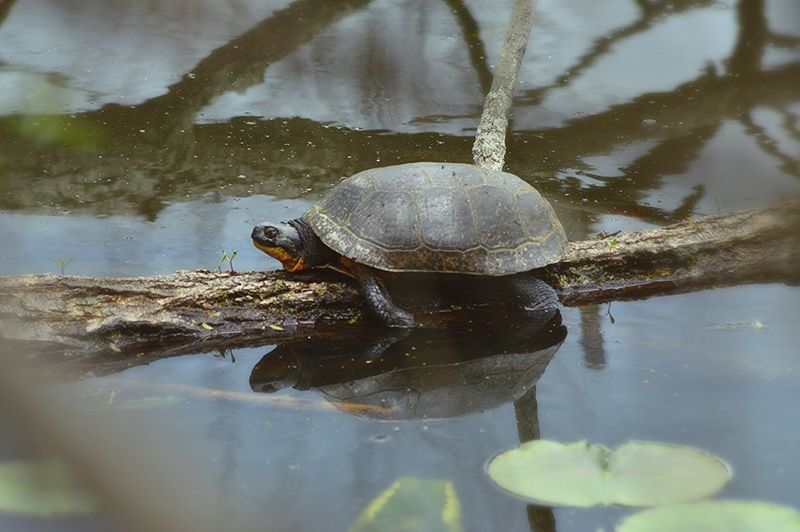 Turtle Marsh Endangered Species Blanding's Turtle Reflection Ohio Lake Erie Nature