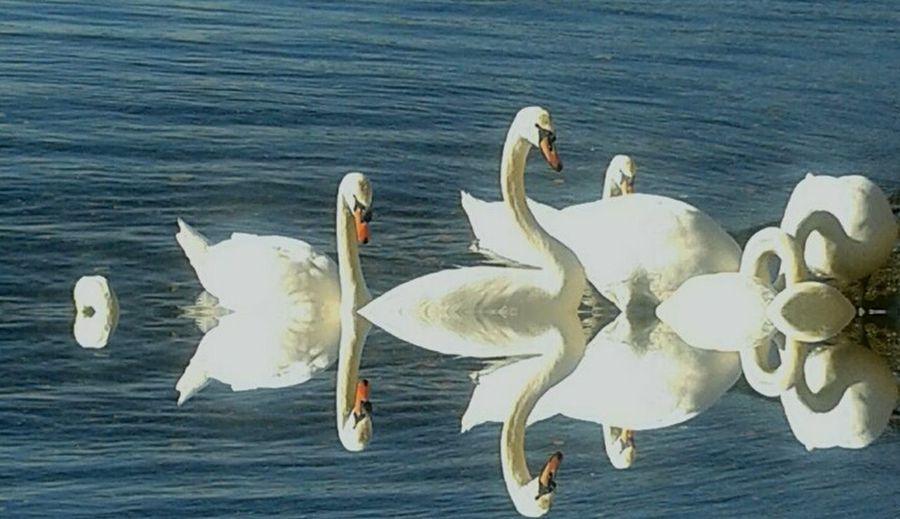 Cigni Al Lago Di Bracciano Bird Animals In The Wild Animal Themes Swimming Wildlife Water Bird Nature No People