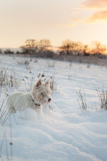 Dog on snow field by lake against sky during sunset