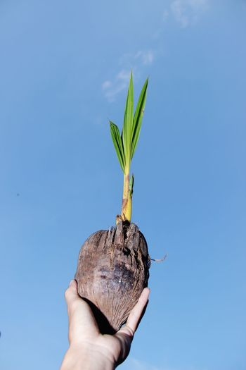 Newly grown coconut tree. close-up of hand holding plant against sky