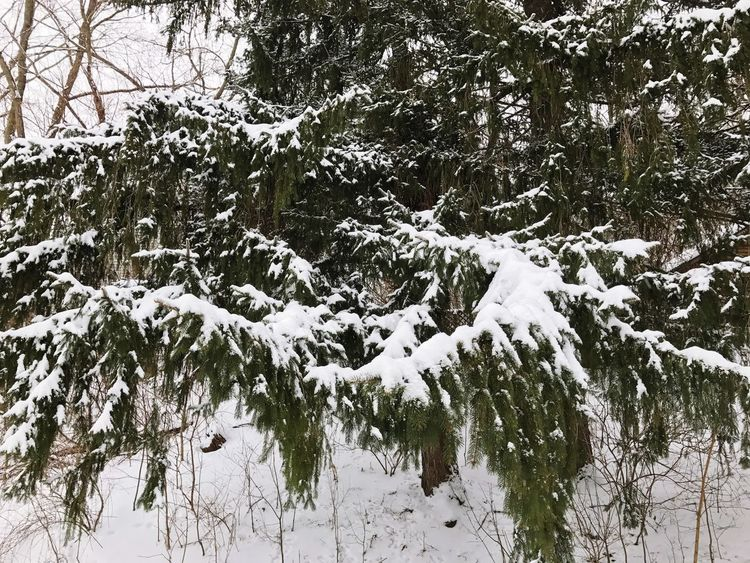 Winter Snow Tree Cold Temperature Nature Weather White Color Beauty In Nature Outdoors Growth Tranquility No People Branch Scenics Day Forest Close-up