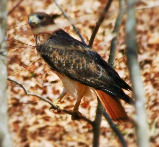 Red Tail Hawk Joe Wheeler State Park Alabama EyeEm Best Shots EyeEm Nature Lover