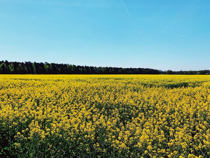 Landscapes Rapsblüte Frühling Spring Gelb Sky Landscape Field Agriculture Rural Scene Plant Land Beauty In Nature Scenics - Nature Yellow No People