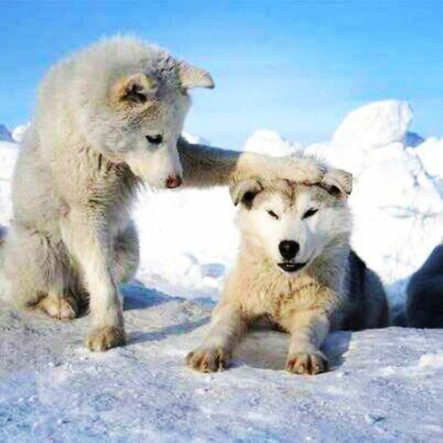 Wolfs  Lobo Animal Ice white cute friends instapic