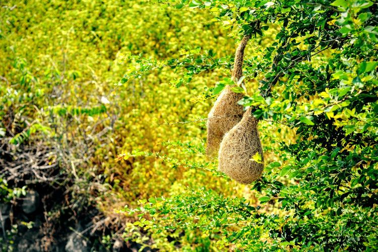 Hanging Home #Abhilashpatil #birds Green Maharashtra Nature Nature Photography Nesting Animals In The Wild Beauty In Nature Beauty In Nature Bird Green Color Growth Nature Nest No People One Animal Outdoors Plant Yellow