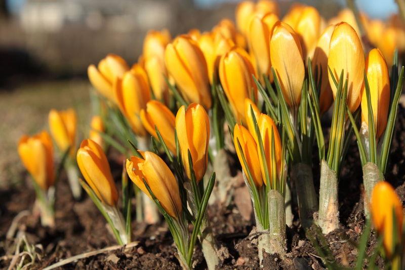 Crocuses Crocuses Spring Day Spring Spring Flowers Spring Time Springtime Sunshine Violet Flowers Yellow Yellow Flower