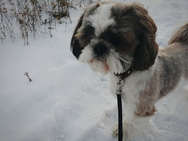 Dog Pets Dog One Animal Snow Winter Day No People Shi-tzu