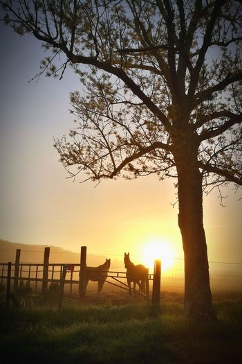 Brouillard Chevaux Lever De Soleil Fog Horse Horses Tree Sunset Rural Scene Togetherness Full Length Silhouette Sky Sun Tranquility Calm