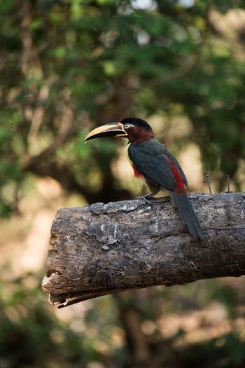 Chestnut-eared aracari perching on wood