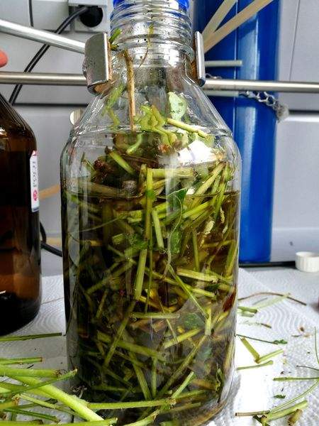 Sciences Scientist Plant Plants Science Lab Science World  Science Project Science Centre Science Equipment Working Day Experiment Food And Drink Alternative Medicine Medical Cannabis Day Herbal Medicine Freshness Greenhouse No People Poland Bottle