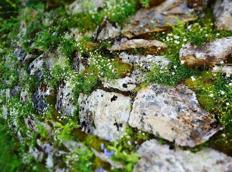 Wall Moss Nature Outdoors No People Close-up Tranquility Beauty In Nature Grass Day