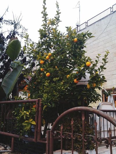 Orange Tree Israel Jerusalem Tree Cactus Urban Landscape