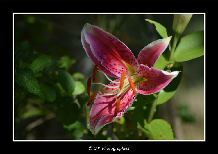 Lys Lily Flower