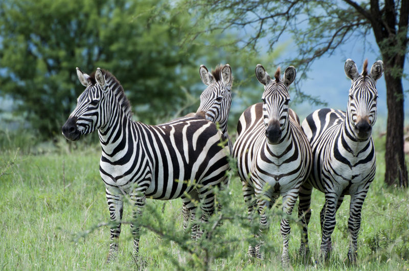 Zebras Standing On Grassy Field At Forest