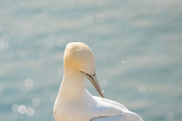 Wild bird. northern gannet on the island of heligoland on the north sea . blue sea in background.