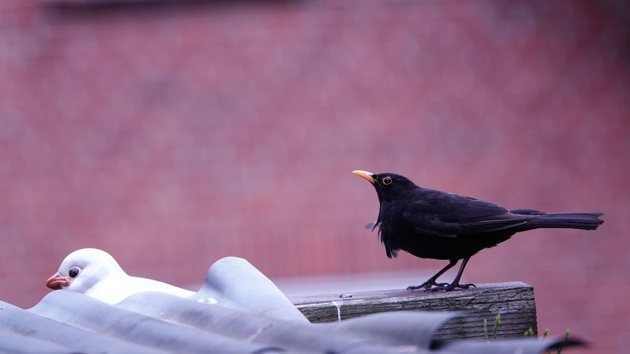 Blackbird wildlife