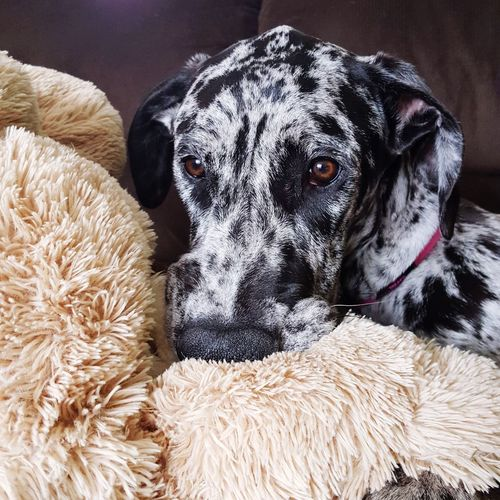 Dog Pets Domestic Animals Indoors  Animal Themes One Animal Mammal No People Living Room Day Close-up Animals Cute Pets Doglover Dogoftheday Greatdane Puppy Dog Photography Sofa Teddy Teddy Bear Stuffed Animals Sadeyes Brown Eyes Doggy