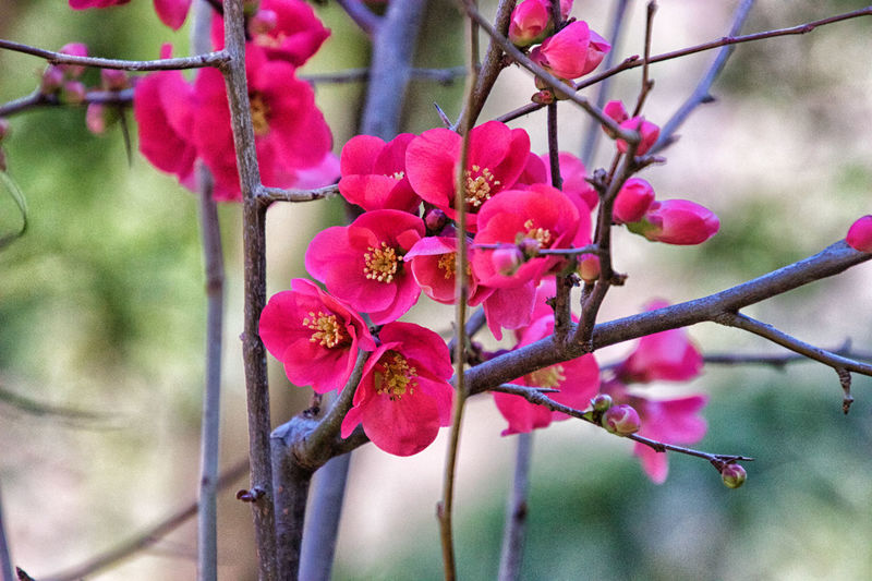 Plant Growth Freshness Flower Pink Color Beauty In Nature Flowering Plant Tree Branch Close-up Focus On Foreground Fragility Vulnerability  Day Nature No People Twig Petal Blossom Outdoors Flower Head Springtime Spring