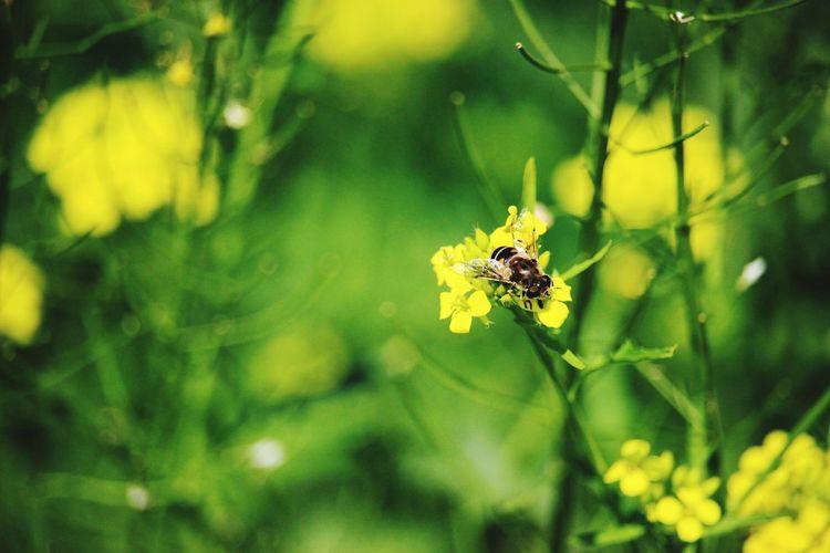 Bee Insect Macro Yellow Yellow Flower Yellow Flowers Green Green Color Fly макро желтый желтыецветы зеленый крылья летать лето солнце зелень  Flying Summer Grass Sun пчела насекомые