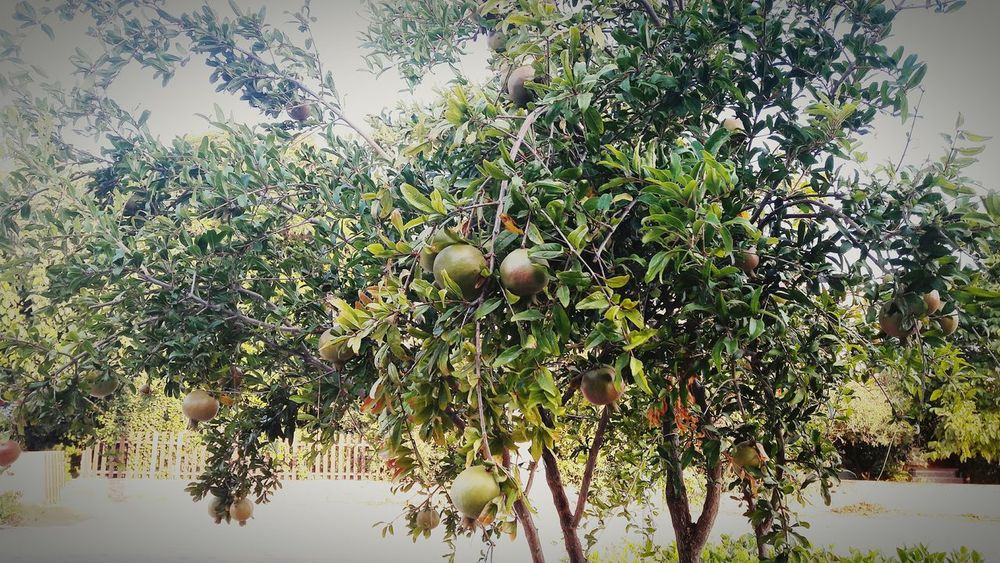 My Garden @my Home My Garden Tree Trees And Nature Garden Photography Taking Photos ❤ Natural Beauty Photos Around You Pomegranate Tree