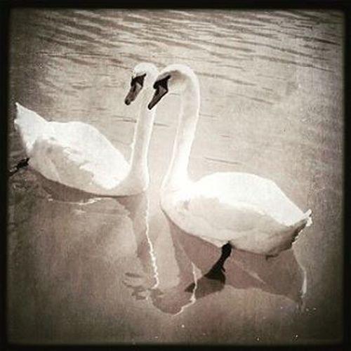 Rammegård Swans