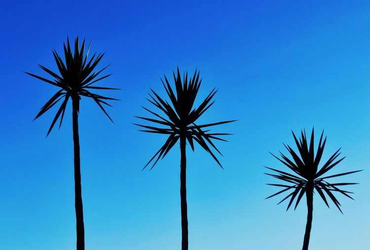 Palm Tree Tropical Climate Sky No People Low Angle View Tree Blue Clear Sky Nature Outdoors Silhouette Arts Culture And Entertainment Plant Motion Beauty In Nature Scenics - Nature Day Dusk Coconut Palm Tree Date Palm Tree Tropical Tree Palm Leaf