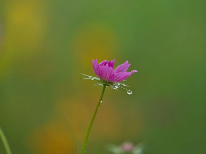 Tears. https://youtu.be/XAa1CeX4dac Simple Quiet Love Japan M.ZUIKO DIGITAL Lumix G9 EyeEm Nature Lover EyeEm Best Shots Tranquil Scene Tranquility Beauty In Nature Nature Drop Waterdrops Water No People Outdoors Close-up Bokeh Pink Color Growth Flowering Plant Flower Head Flower