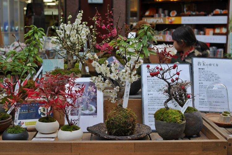 Cherry blossom bonsai/春恋し Cherry Blossoms Bonsai Flowers Plants Enjoying Life Streetphotography Snapshots Of Life LUMIX DMC-GM5K