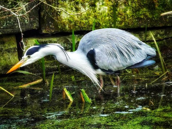 Bird Animal Wildlife Water Outdoors Farnworth Moses Gate Country Park Walking Around Gray Heron Heron Scenic View Water Bird Heron Bird Heron On The Canal Ladyphotographerofthemonth