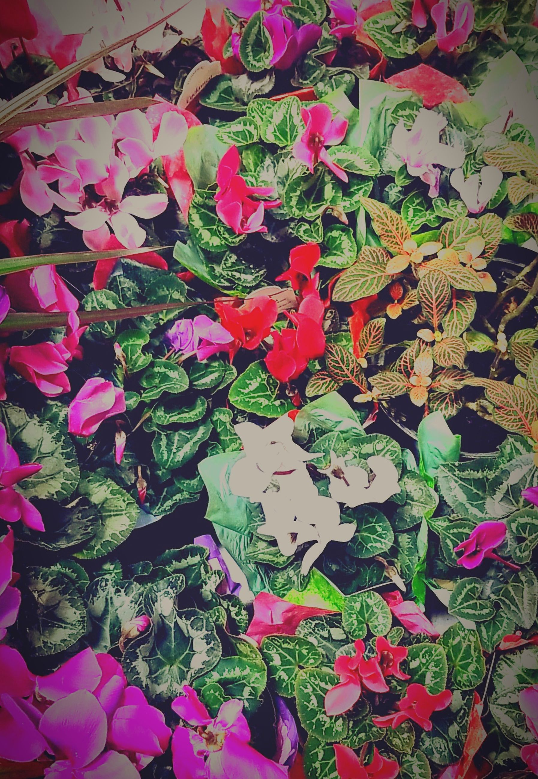 plant, beauty in nature, flower, full frame, pink color, flowering plant, multi colored, no people, nature, backgrounds, high angle view, leaf, plant part, day, close-up, freshness, growth, outdoors, petal, vulnerability, flower head, bouquet, bunch of flowers, flower arrangement