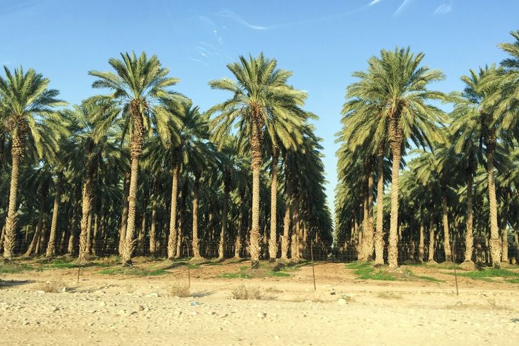 Date palm trees growing on field against sky