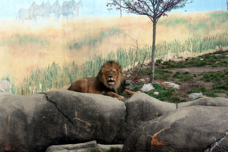 Zoo Animal Themes Animals In The Wild Lion Nature No People Relaxation Wildlife