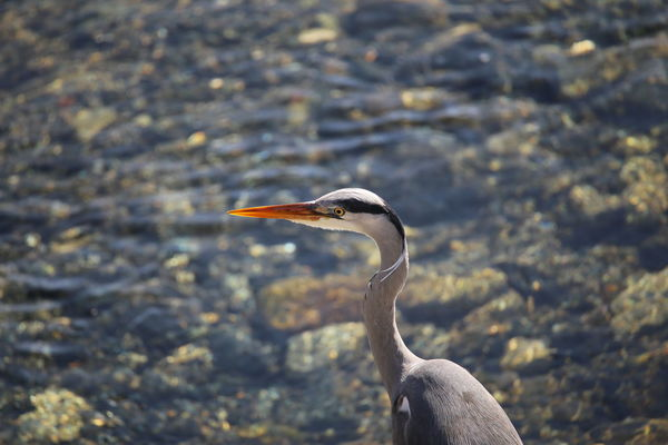 Airone Cenerino One Animal Animals In The Wild Animal Wildlife Bird Animal Themes Beak Day Nature No People Water