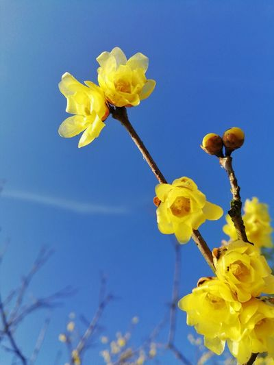 Colour Your Horizn Flower Blue Yellow Plant Close-up Leaf Nature Fragility Sky No People Outdoors Flower Head Low Angle View Beauty In Nature Clear Sky Branch Day Orchid