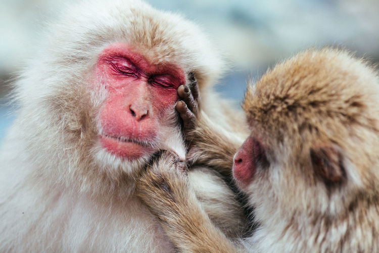 Japanese Macaque Monkey Primate Mammal Animal Themes Animal Animals In The Wild Animal Wildlife Group Of Animals Animal Hair Hair Vertebrate Focus On Foreground Two Animals No People Close-up Outdoors Day
