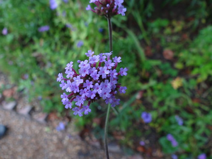 Lavenderflower Flower Cluster Of Flowers Garden Photography Garden Gardens Lavender Color Blooms And Buds Blooming
