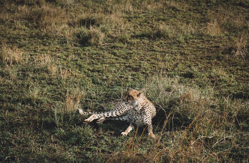 Сheetah African Beauty Animal Themes Animals In The Wild Cheetah Cheetah Cheetah On The Field Cheetah Resting Day Feline Grass Leopard Mammal Nature No People One Animal Outdoors Tanzania