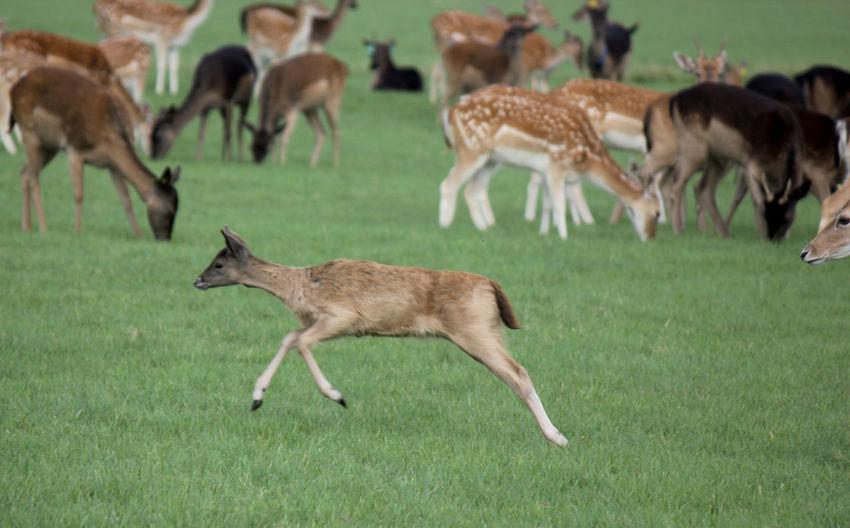 Deer running on grassy field