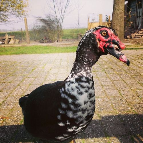 Our Duck Joopie Telling Us He Wants  His Food With His Wacky Attitude LOL 😂 Love Muscovyducks Ducks Animals .. Enjoy 420 Bjorngruppen Dutch