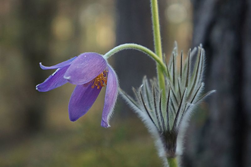 Pulsatilla Patens Beauty In Nature Fragility Nature No People Focus On Foreground Vulnerability  Freshness Close-up Purple Outdoors Inflorescence Flower Head Flowering Plant Plant Stem Plant Growth Flower Pollen Sepal Day Petal