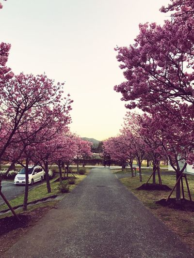 Sakura. Tree Growth Nature The Way Forward Blossom Beauty In Nature Flower Scenics Outdoors Tranquility No People Day Park Sky Grass Freshness