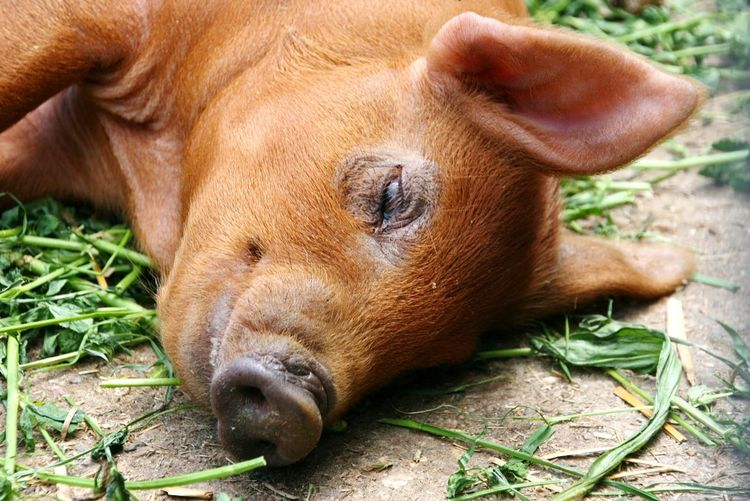 Pig Schwein Schweine Animal Animal Themes Sleeping Sleeping Pig Tierfotografie Tierfotografie Pigs Life Pigs One Animal Mammal Close-up Animal Themes Lying Down No People Brown Animals In The Wild Nature Grass Domestic Animals Animal Wildlife Outdoors