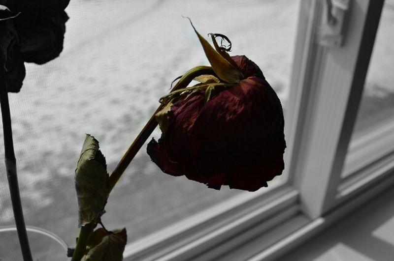 Rosé Dead Plant